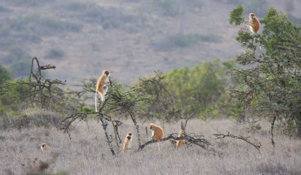 The whistling thorn acacia provides the patas monkey with 80 percent of its diet; about half of this is gum.