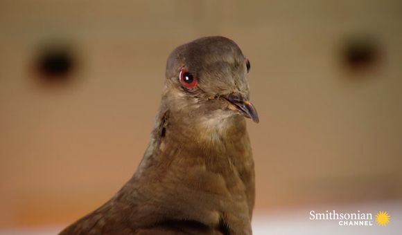 Preview thumbnail for video'This Is Martha, the World's Last Known Passenger Pigeon