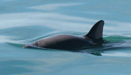 Only 30 of the World's Most Adorable Porpoise Are Left on Earth