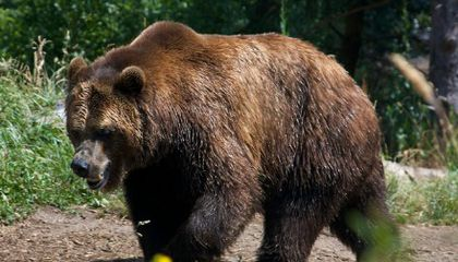 Can Brown Bears Survive in the Pyrenees?