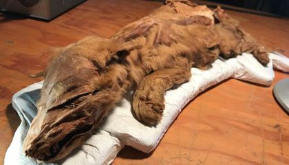 Gold Miners Unearth 50,000-Year-Old Caribou Calf, Wolf Pup From Canadian Permafrost