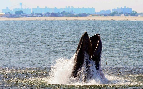 Humpbacks are invading New York City!