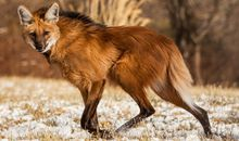 What the Rhythm of a Maned Wolf's Heart Reveals