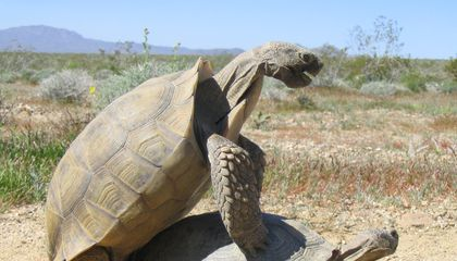 Safer Digs for Tortoises Put a Damper on Their Love Lives
