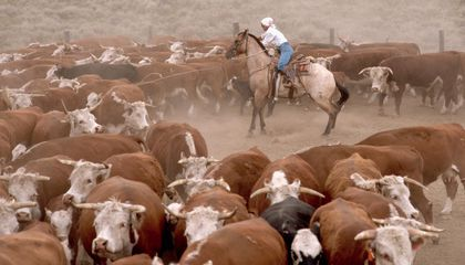 The Modern Cost of Cattle Rustling