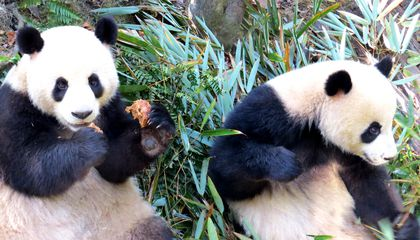 Two pandas at China's Chengdu Research Base of Giant Panda Breeding (also called Chengdu Panda Base or CPB).