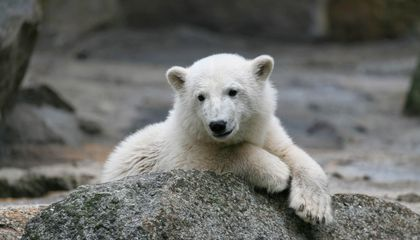 Knut the Polar Bear's Mysterious Death Finally Solved