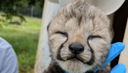 New Cheetah Mom Earns High Marks Caring for Her Three New Smithsonian Cubs
