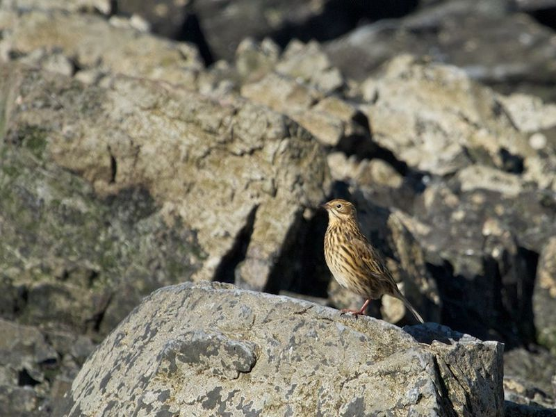 Pipit in South Georgia