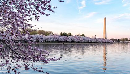 Virtually Celebrate Peak Bloom With Ten Fun Facts About Cherry Blossoms