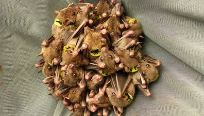 "Researchers ""Translate"" Bat Talk. Turns Out, They Argue—A Lot"