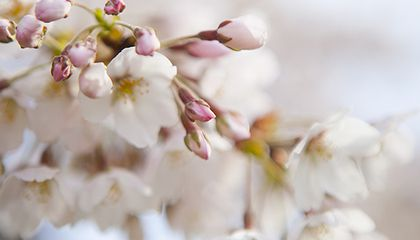 In Bloom At Last: D.C.'s Cherry Blossoms Have Arrived