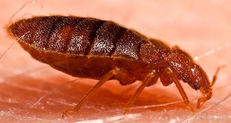 20120604125035Adult_bed_bug_Cimex_lectularius-small.jpg
