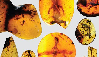Pint-Sized Lizards Trapped in Amber Give Clues to Life 100 Million Years Ago