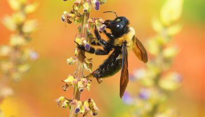 New Map Highlights Bee Population Declines Across the U.S.