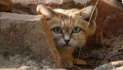 Cute Sand Cat Spotted for the First Time in a Decade in the United Arab Emirates