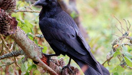 Like Humans and Apes, Ravens Can Plan for the Future