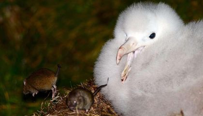 Invasive Mice Are Gnawing the Scalps of Endangered Albatrosses