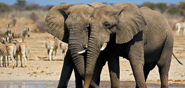 Elephants at Etosha National Park