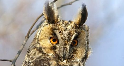 The wise long-eared owl keeps his cool under pressure.