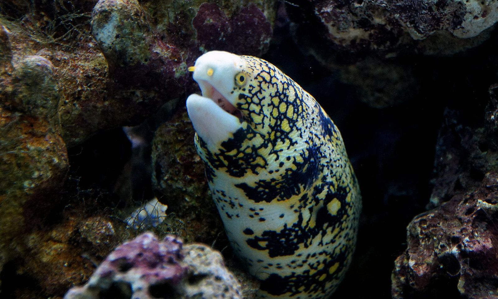 To Capture Prey on Land, This Eel Has an Extendable, Extra Jaw Hidden Inside Its Throat