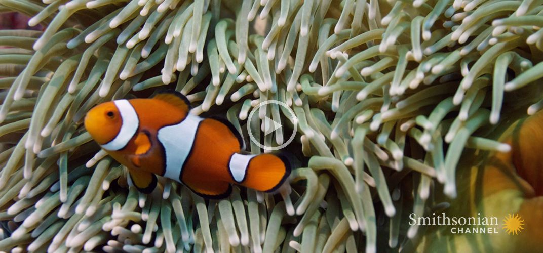 Caption: Never-Before-Seen Footage of Clownfish Hatching