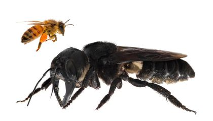 World's Largest Bee Spotted for the First Time in Decades