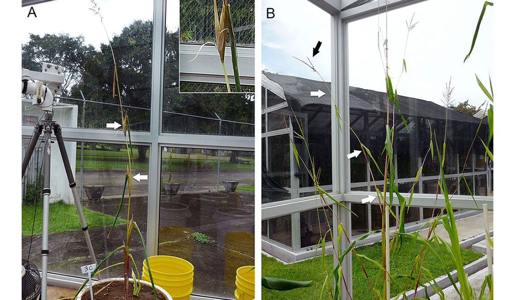 The maize-like phenotype plant from the