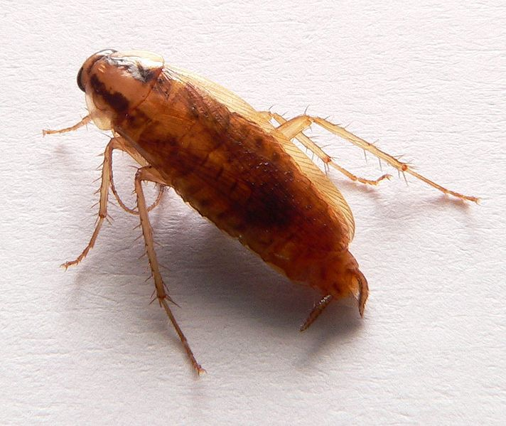 Cockroaches Have Evolved to Avoid Our Traps
