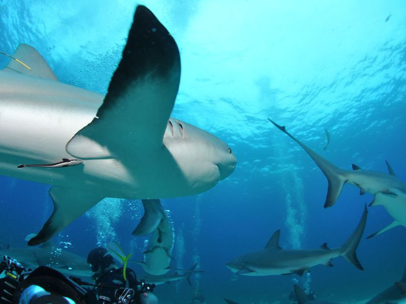 Sharks in Bahamas