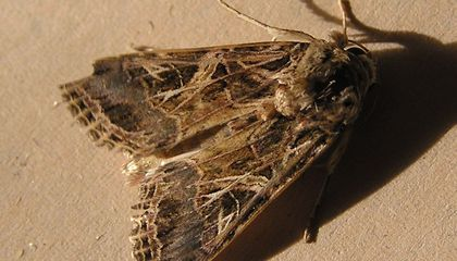 These Moths Remember Where They Mated for the First Time