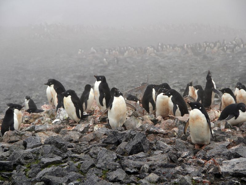 Adélie penguins on Beaufort Island