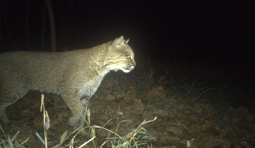 Bobcats are uncommon in urban areas on the east coast.