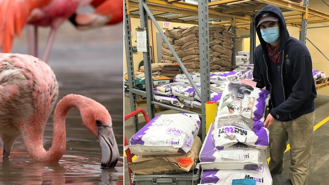 A flamingo (left) and a Zoo commissary worker lifting a bag of dry food in a warehouse (right)