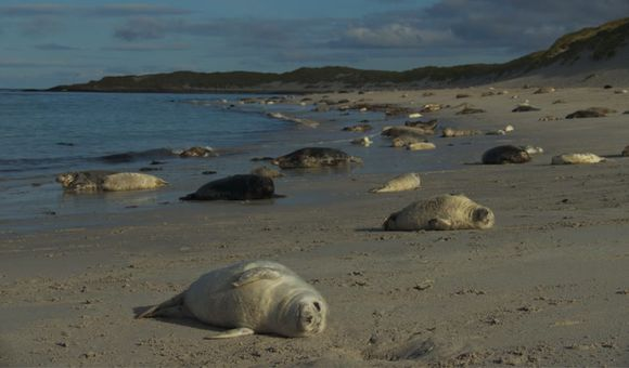 Preview thumbnail for video'The Grey Seal Pupping Season in Scotland Is Spectacular