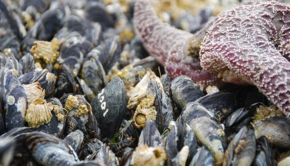Robot Shellfish May Tell Us About Climate Change's Impact on Marine Species