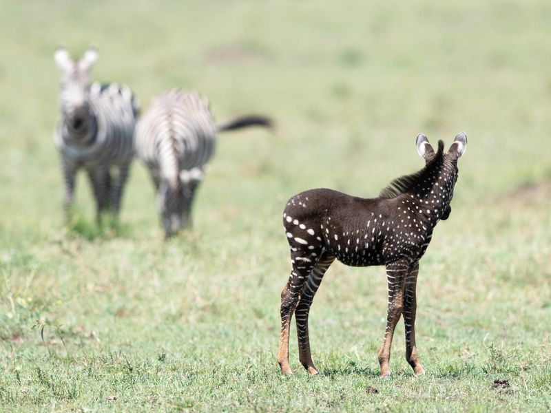 Spotted In Kenya: A Baby Zebra with Polka Dots