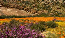 Fickle Desert Blooms: Opulent One Year, No-shows the Next