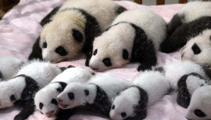 Baby Panda Triplets Born In Chinese Zoo