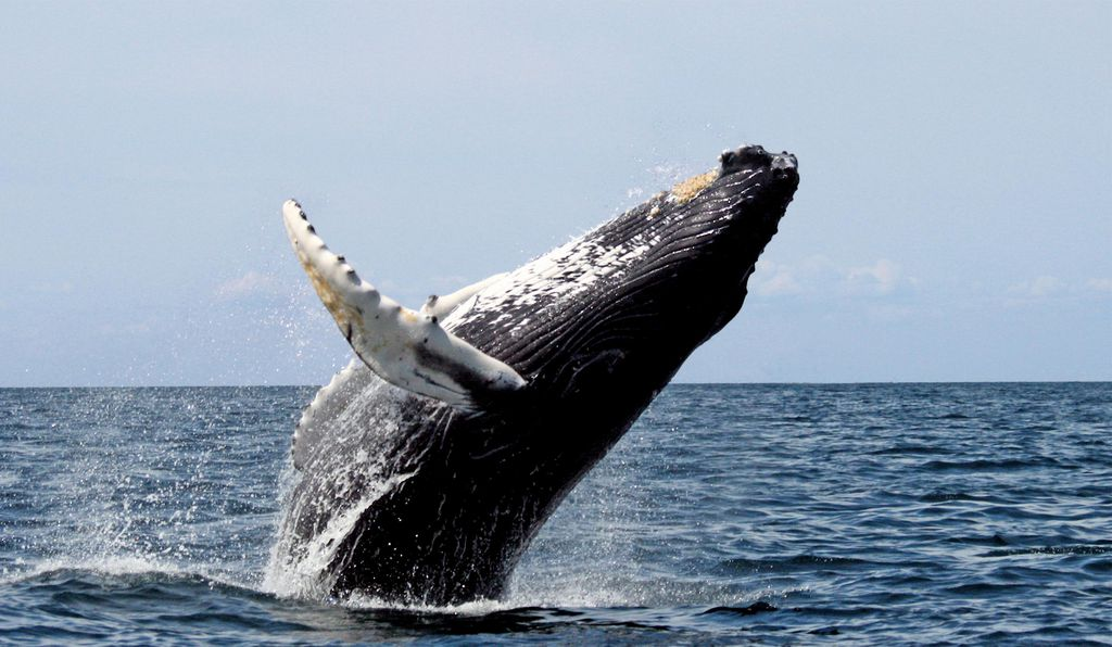 Whales are another example of Peto's paradox: Despite their size, they are mysteriously cancer-free.