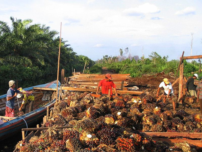 oil palm harvest
