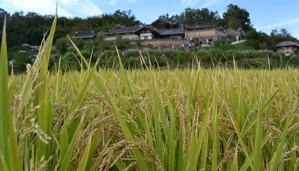Climate Change Will Mean the World Eats Rice