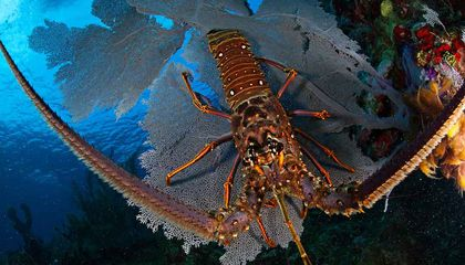 Proposed New Marine Reserve System Offers Rosy Outlook for Both the Lobster and the Lobster Fisherman