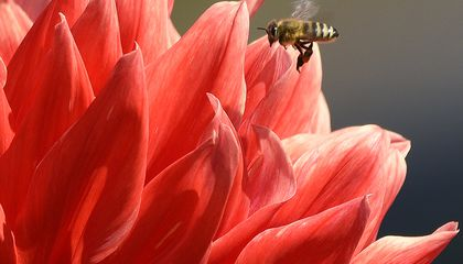 Image: Bee tongues are getting shorter as temperatures warm