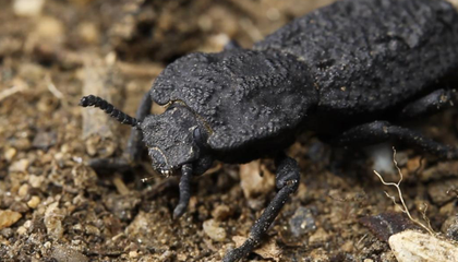 The Secrets of the Diabolical Ironclad Beetle's Almost  Unsquishable Strength