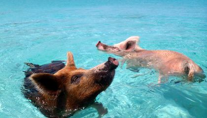 What Killed More Than Half a Dozen of the Bahamas' Swimming Pigs?