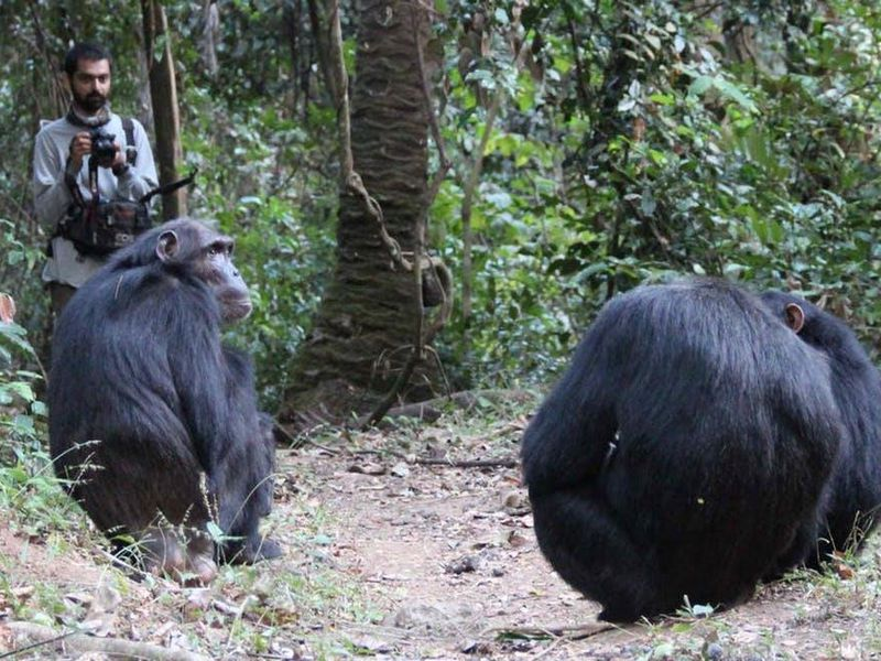 Nisarg Desai observes wild chimps known as Sandi, Ferdinand and Siri in Tanzania.