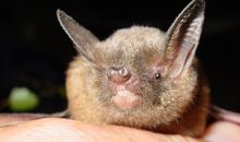 Like Birds, Some Bats Warble to Woo Their Mates