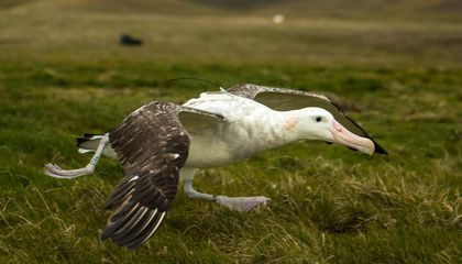 Albatrosses Outfitted With GPS Trackers Detect Illegal Fishing Vessels