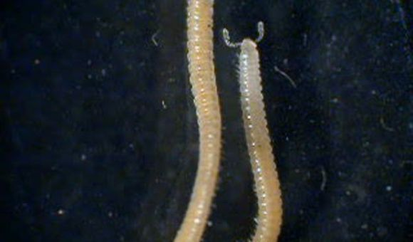Preview thumbnail for video'This Millipede is the Leggiest Creature in the World